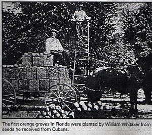 William Whitaker (pioneer) - Image: Orange groves 438
