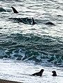 Orcas in Punta Norte Valdes Peninsula - panoramio - Ecohotel.jpg