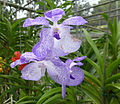 Orchids in Thailand 2013 2737.jpg