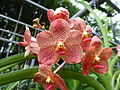 Orchids in Thailand 2013 2755.jpg