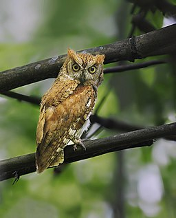 Oriental Scops Owl, Garbhanga, Assam, 5 june 2017