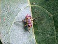Oriental fruit fly (20340756208).jpg