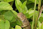 Oriental garden lizard 08861.JPG