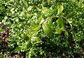 Orixa japonica kz5.jpg