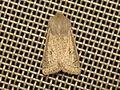 Orthosia gracilis (14037636466).jpg