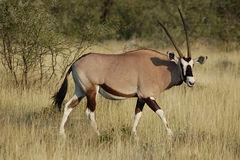 Oryx gazella -Etosha National Park, Namibia-8.jpg