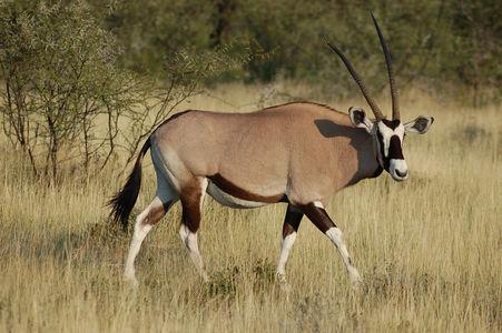 Gemsbok (Oryx gazella) in Etosha National Park, Namibia