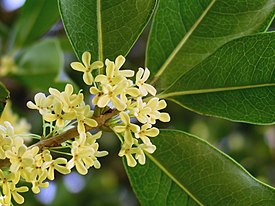 Osmanthus fragrans.jpg