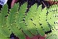Osmunda claytoniana 16zz.jpg