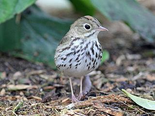 Ovenbird species of bird