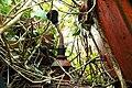 Overgrown IHC tractor 7.jpg