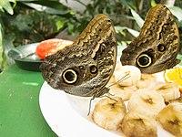 Owl butterfly (12064168395).jpg