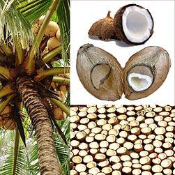 el coco tiene semilla