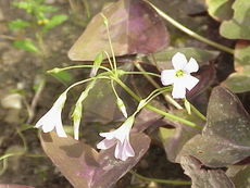 Oxalis triangularis0.jpg