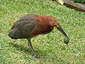Pájaro vaco (Tigrisoma lineatum lineatum) capturando su presa.jpg