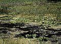 PNBT zbiornik z Nymphaea alba2 03.07.10 p.jpg