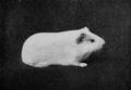 PSM V77 D433 White smooth coated guinea pig is the result of cross combination.png