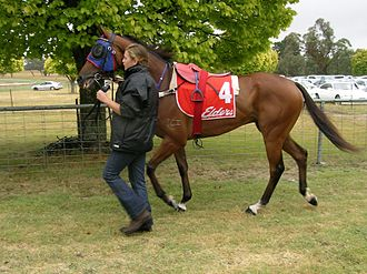 Strapper - A strapper leading a racehorse.