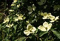 Pacific Dogwood, Coleton Fishacre - geograph.org.uk - 1365330.jpg