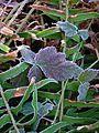 Pacific spirit leaf.jpg