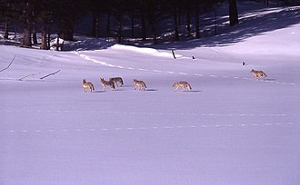 A pack of coyotes in Yellowstone National Park Pack of coyotes on snow.jpg