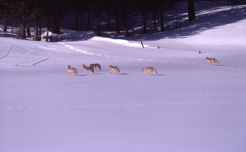 Pack of coyotes on snow