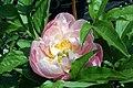 Paeonia lactiflora Abalone Pearl 3zz.jpg