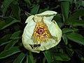 Paeonia mlokosewitschii 2016-05-09 9701.jpg
