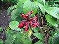 Paeonia wittmanniana Fruits BOGA.jpg