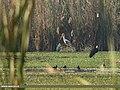 Painted Stork (Mycteria leucocephala), Woolly-necked Stork (Ciconia episcopus) & Grey Heron (Ardea cinerea) (32774153130).jpg