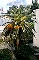 Palm in montenegro 3.jpg