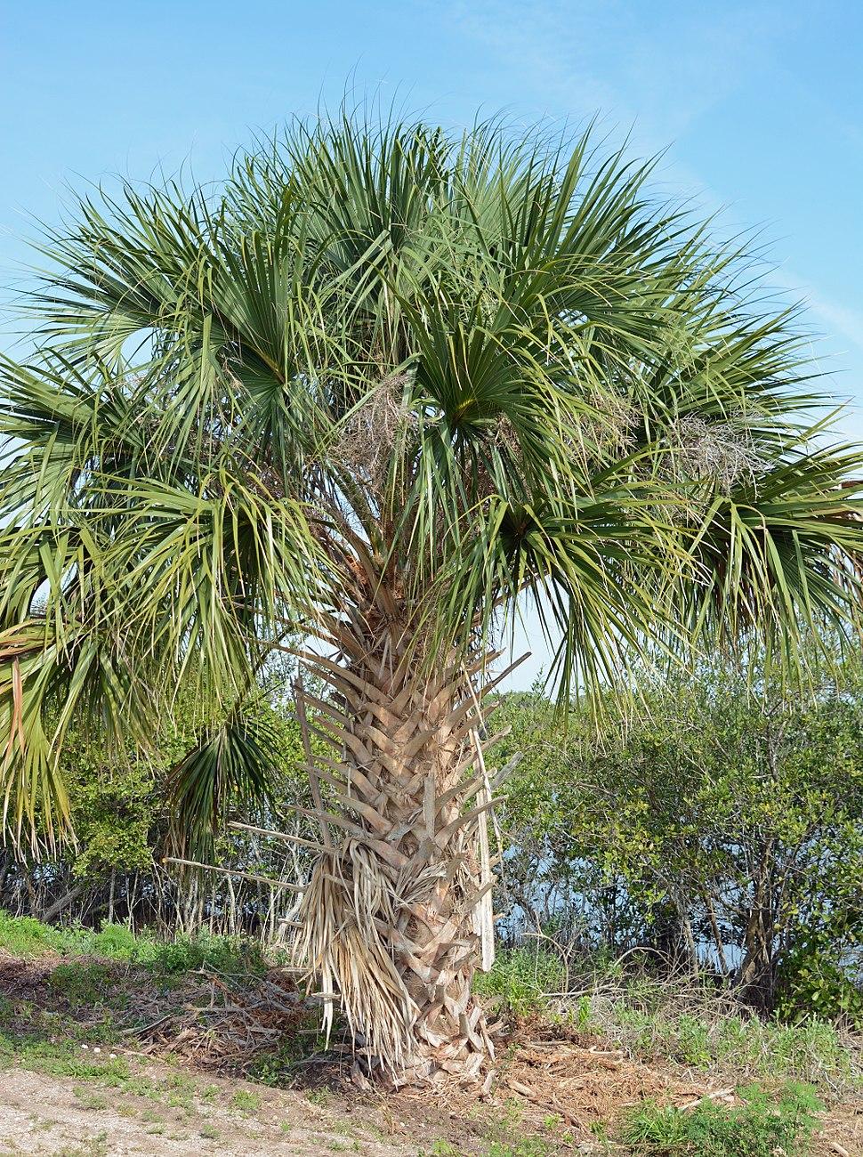 Palm tree CANA