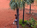Palm worker climbing to harvest fruits and juice.JPG