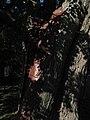 Památná lípa v Malejovicích, ošetření kmene.jpg