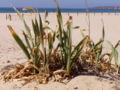 Pancratium maritimum beach.jpg