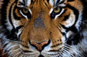 Norman High School - Image: Panthera tigris Castellar Zoo, Spain 8a