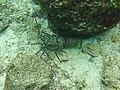 Panulirus gracilis 33766224.jpg