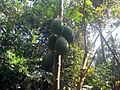 Papaya 2.JPG