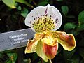 Paphiopedilum Mendocino 'Charlotte'.jpg