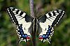 Papilio Machaon imago 01.jpeg