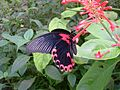 Papilio rumanzovia (Scarlet mormon) I think - Flickr - S. Rae.jpg