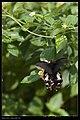 Papilio thaiwanus (15136335982).jpg