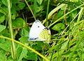 Papillons 03068 les Trous de Leu.JPG