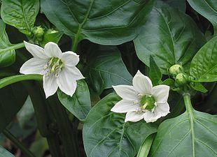 Spansk Peber (Capsicum annuum) i én af de mange sorter.