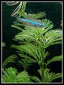 Paracheirodon innesii blue.jpg