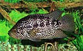 Parachromis managuensis 2012 G1.jpg
