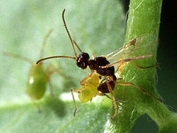 Parasitic wasp.jpg