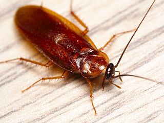 <i>Parcoblatta americana</i> species of insect
