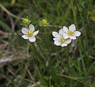 Parnassia - Parnassia parviflora