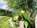 Parrot-BVI 4.jpg
